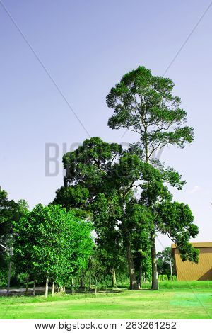 Large Green Tree On Green Grass Field In Park, Beautiful Big Green Tree With Flare Light Sky In The
