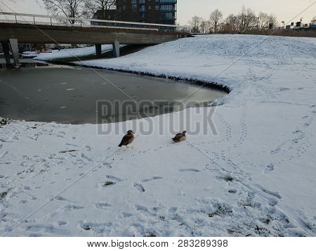 Egyptian Goose In The Snow On The Dyke In Nieuwerkerk Aan Den Ijssel In The Netherlands