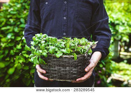 Organic Gardening. Farmers Hands With Fresh Herbs. Spring Gardening