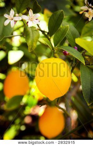 Myer Lemon