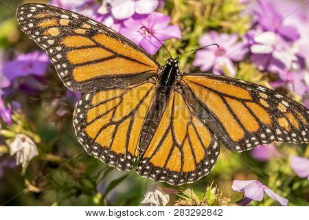 Monarch Butterfly Or Simply Monarch, Danaus Plexippus Is Milkweed Butterfly The Family Nymphalidae.
