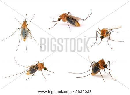 Insect Mosquito - Host of disease on white . poster