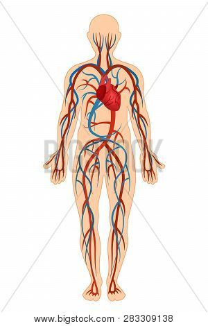 Anatomical Structure Of Human Body, Circulatory System, Arteries, Veins.
