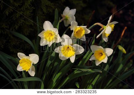 Close-up Of White-yellow Narcissus Flowers On The Spring Meadow. Macro Photography Of Nature.