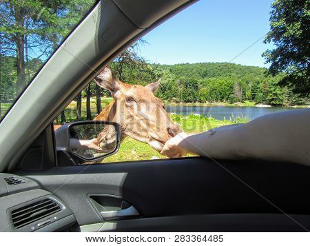 A Large Female Elk Or Wapiti Gets Up Close By The Passenger Side Window Of A Car, Eating Out Of The