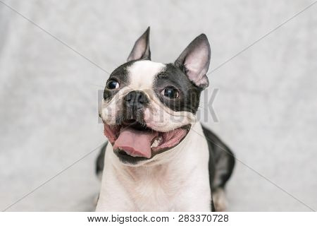 Dog Breed Boston Terrier With A Happy Face And Parched Tongue Posing On A Light Background. Portrait