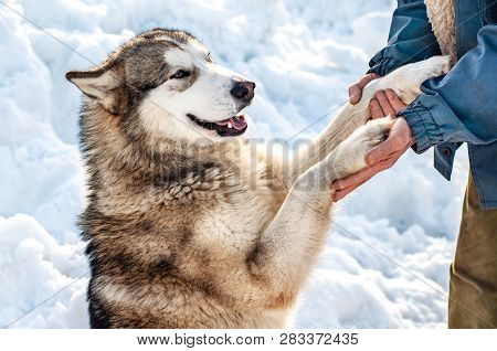 A Smiling Dog Gives Its Paws To Its Owner. Friendliness And Gratitude Of Animals