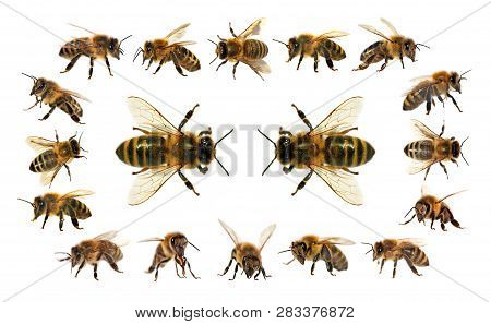 Group Of Bee Or Honeybee In Latin Apis Mellifera, European Or Western Honey Bees Isolated On The Whi