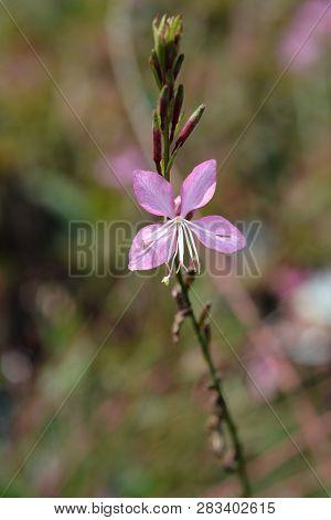 Pink Gaura - Latin Name - Oenothera Lindheimeri (gaura Lindheimeri)