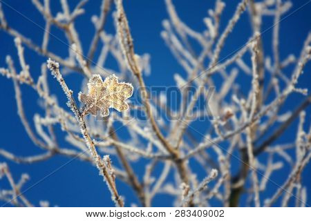 Beautiful Frosty Oak Tree Leave On Peaceful Sunny Winter Day Against Clear Blue Sky Background, Copy