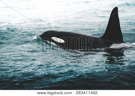 Orca Killer Whale Near The Iceland Mountain Coast During Winter. Orcinus Orca In The Water Habitat,