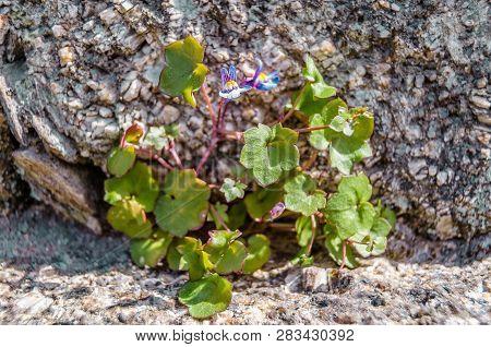 Wild Snapdragon Flower