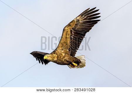 Flying Predatory White-talied Sea Eagle