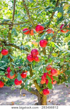 Ripe Red Apples On Apple Tree In Garden. Summer Harvest Apples