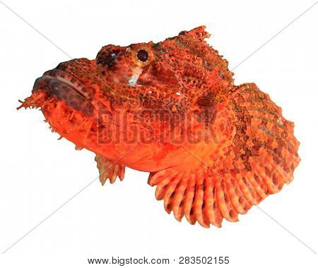 Scorpionfish fish isolated on white background