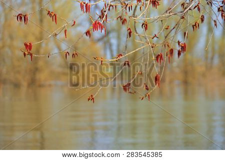 Closeup Spring Blossoming Tree Brunch On Danube River
