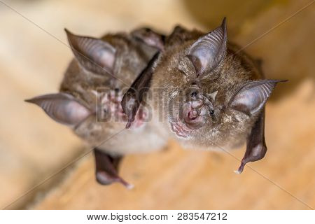 Two Greater Horseshoe Bat (rhinolophus Ferrumequinum) This Species Occurs In Europe, Northern Africa
