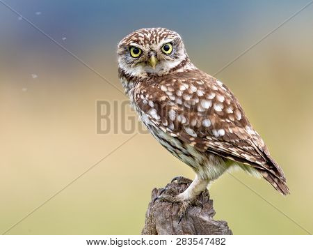 Little Owl (Athene noctua) nocturnal bird perched on log with bright background and looking at camera poster