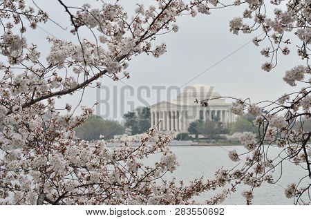 Cherry blossoms and Jefferson Memorial - Washington DC during Cherry Blossom Festival - United States of America