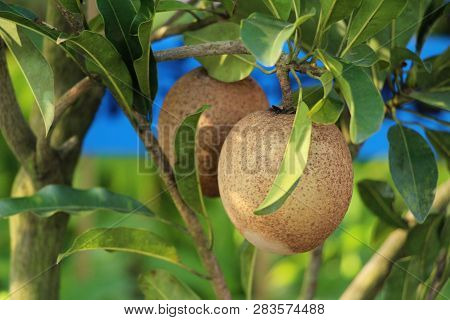 Sapodilla Fruit On Tree In The Garden