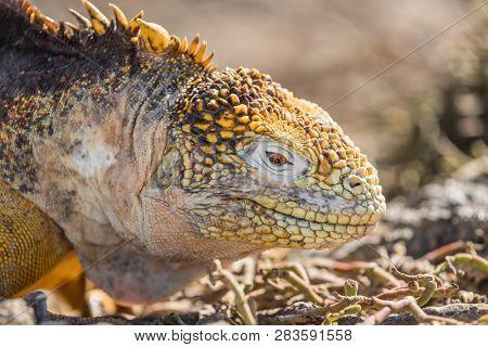 Galapagos Land Iguana - close up of yellow land iguana on North Seymour. Amazing animals and wildlife in Galapagos Islands, Ecuador, South America. Male land iguana.