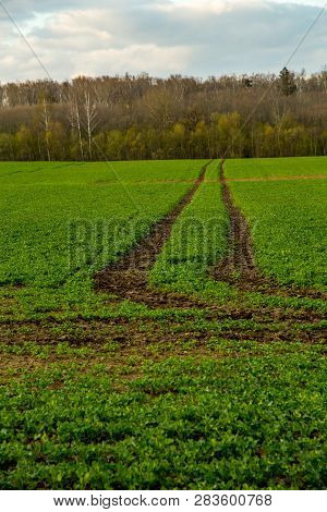 Dirt Road Path In Cereal Field Landscape In Spring. Tractor Tire Tracks On The Field In Latvia. Summ