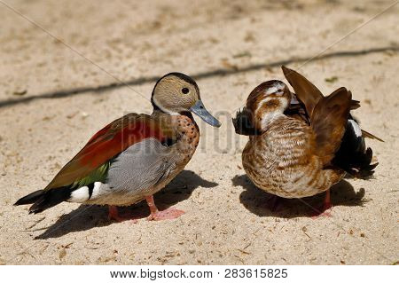 Portrait Of Pair Ringed Teal Ducks. Photography Of Nature And Wildlife.