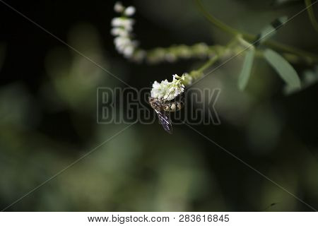 Close Up Of Scoliid Wasp (scoliidae) In Natural Habitat