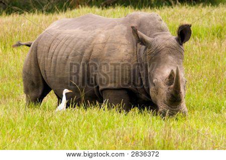 Rhino And Cattle Egret