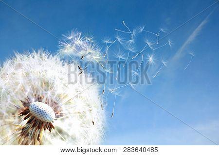 Dandelion. Close Up Of Dandelion Spores Blowing Away,blue Sky.dandelion Seeds Close Up Blowing In Bl