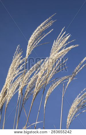 Waving Golden Wheat Against A Clear Blue Sky