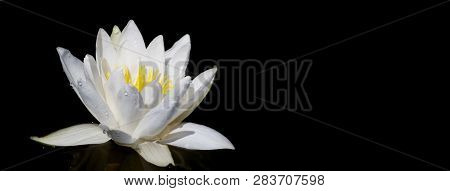 Panoramic View Of Water White Lily Plant In The Black Background. Space For Text