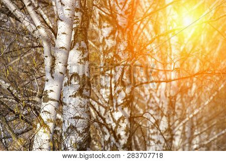 Birch Tree In Field At Spring Sunset With Green And Orange Background