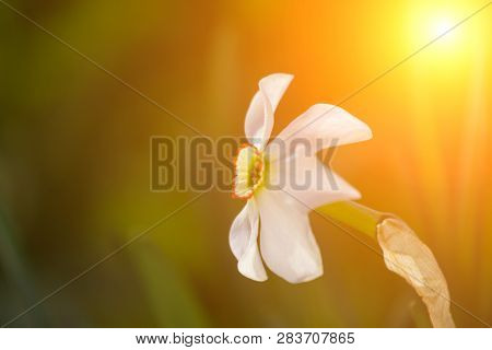 Daffodil Flowers In The Field At Sunset. Spring Time. Copy Space