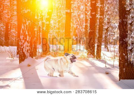 Pug Dog Play On The Snow In Winter Outdoors In The Forest At Sunset