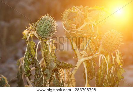 Hindu Datura Datura Metel In The Period Of Fruiting At Sunset