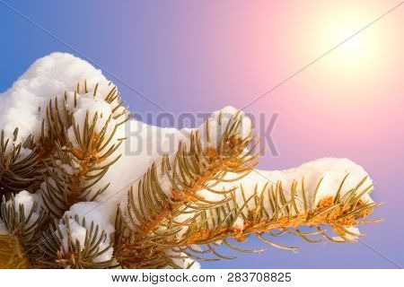 Frosty Winter Landscape In Snowy Forest. Pine Branches Covered With Snow In Cold Winter Weather. Chr