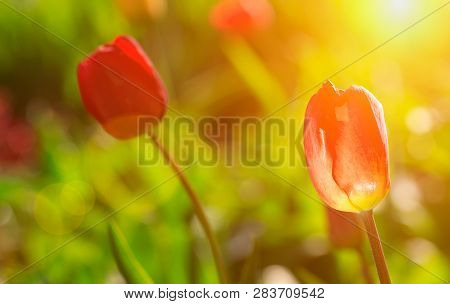 Red Tulips In Spring At Hot Suuny Day
