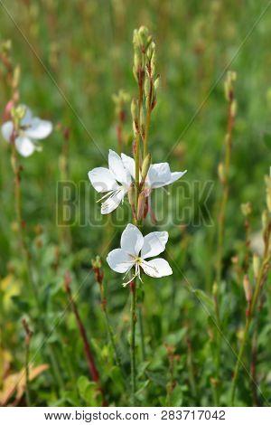White Gaura - Latin Name - Oenothera Lindheimeri (gaura Lindheimeri)
