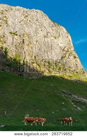 Wonderful Countryside Of Romania In Spring. Huge Cliff Above Grassy Pasture On Hillside. Cattle Of C