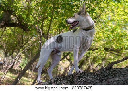 Cross-breed Of Hunting And Northern White Dog Walking On A Tree Branch In Autumnal Forest