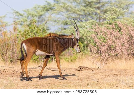 One Natural Sable Antelope (hippotragus Niger) Walking In Savanna, Blue Sky