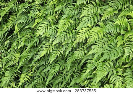 Green Background - Natural Fern Texture. Floral Pattern.