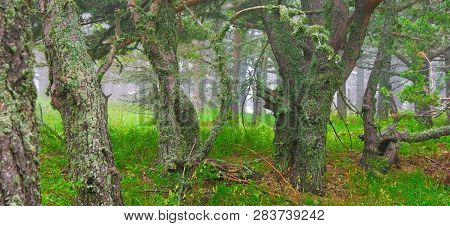 View Of Forest In Misty Weather.landscape Of Misty Forest In High Summer.