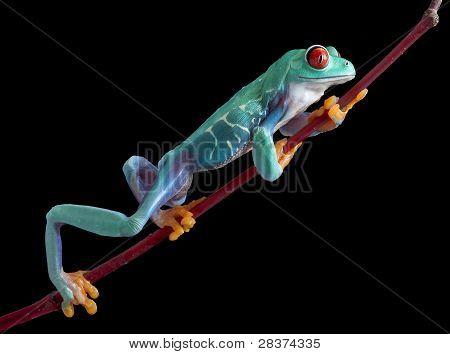 Climbing Red-eyed Tree Frog