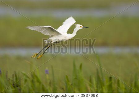 Snowy Egret Flying Across The Everglades Swamp