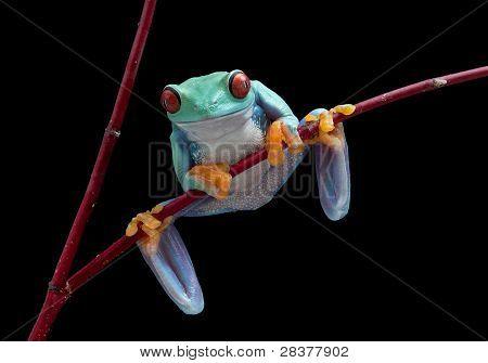 Tree Frog On Red Vine