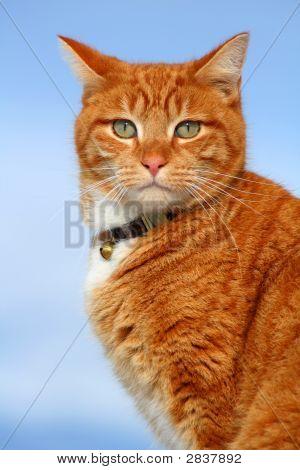 Yellow Tabby Cat Looking 11