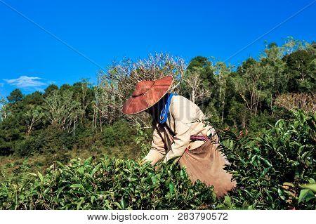 Tea Agriculturist Picking Tea Leafs.