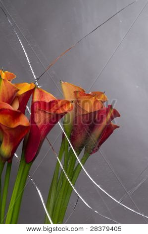 Orange Calla Lilies (zantedeschia) With Broken Mirror
